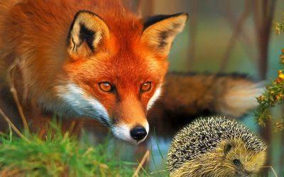E tu, sei volpe o riccio?